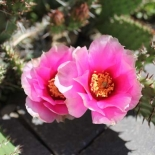 Perennial Cactus